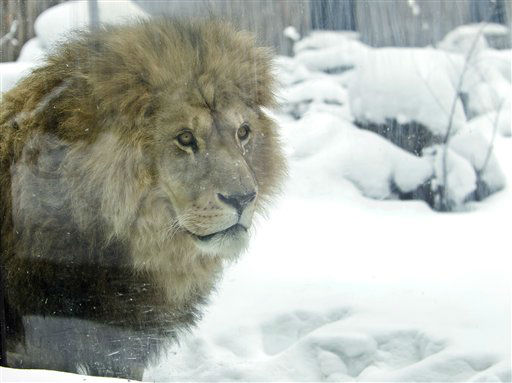 A lion exits briefly in the snow at the zoo in Bucharest, Romania, Friday, Feb. 3, 2012. Zoo officials are taking special measures to protect animals from the weeklong cold snap ? Eastern Europe&#39;s worst in decades ? which caused power outages, frozen water pipes and widespread closure of schools, nurseries, airports and bus routes.&#40;AP Photo&#47;Vadim Ghirda&#41; <span class=meta>(AP Photo&#47; Vadim Ghirda)</span>