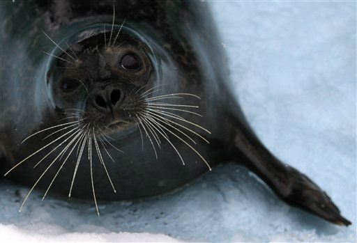 A seal seen in Belgrade Zoo, Serbia, Monday, Feb. 6, 2012.  Freezing weather is affecting huge areas of Europe disrupting traffic. &#40;AP Photo&#47;Darko Vojinovic&#41; <span class=meta>(AP Photo&#47; Darko Vojinovic)</span>