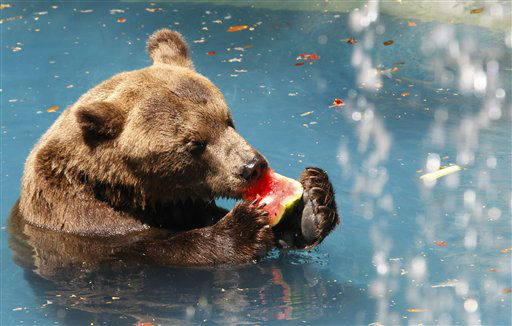 Bear &#39;Ze Colmeia&#39; cools off from the intense summer heat with frozen grapes at Rio de Janeiro&#39;s city zoo, Thursday, Feb. 9, 2012. &#40;AP Photo&#47;Silvia Izquierdo&#41;&#41; <span class=meta>(AP Photo&#47; Silvia Izquierdo)</span>