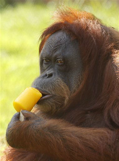 Oranguntan &#39;Tanguinha&#39; cools off from the intense summer heat with a manga ice cream at Rio de Janeiro&#39;s city zoo, Thursday, Feb. 9, 2012. &#40;AP Photo&#47;Silvia Izquierdo&#41; <span class=meta>(AP Photo&#47; Silvia Izquierdo)</span>