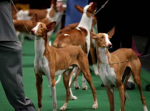 "<div class=""meta ""><span class=""caption-text "">Ibizan Hounds are shown the ring at the 136th annual Westminster Kennel Club dog show, Monday, Feb. 13, 2012, in New York. (AP Photo/Craig Ruttle) (AP Photo/ Craig Ruttle)</span></div>"
