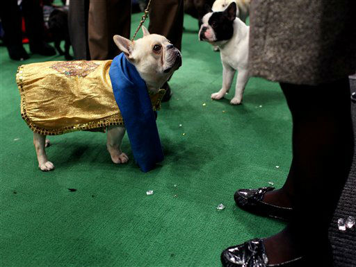 Champy, a French bulldog, looks up to handler Heather Bremmer of Blandon, Pa. as they get ready to enter the ring at 136th annual Westminster Kennel Club dog show, Monday, Feb. 13, 2012, in New York. &#40;AP Photo&#47;Craig Ruttle&#41; <span class=meta>(AP Photo&#47; Craig Ruttle)</span>