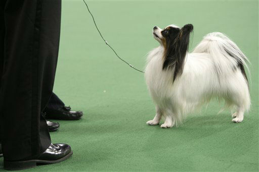 "<div class=""meta ""><span class=""caption-text "">Lafford Fly Me Too Farleysbane, a papillon, looks up at it's handler and the judge during the judging of the toy group at the 136th annual Westminster Kennel Club dog show in New York, Monday, Feb. 13, 2012.  (AP Photo/Seth Wenig) (AP Photo/ Seth Wenig)</span></div>"