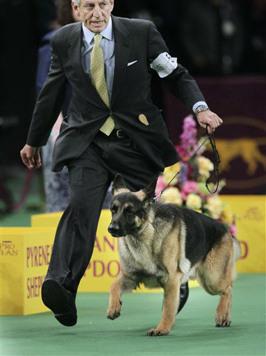 "<div class=""meta image-caption""><div class=""origin-logo origin-image ""><span></span></div><span class=""caption-text"">A German shepherd named Cappy, handled by James Moses, competes in the herding group, in which Cappy was victorious, at the 136th annual Westminster Kennel Club dog show in New York, Monday, Feb. 13, 2012. (AP Photo/Seth Wenig) (AP Photo/ Seth Wenig)</span></div>"
