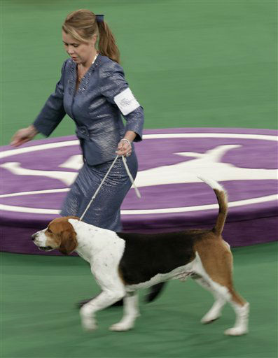 A harrier named Downhome Hitech Innovator runs during the hound judging at the 136th annual Westminster Kennel Club dog show in New York, Monday, Feb. 13, 2012.  &#40;AP Photo&#47;Seth Wenig&#41; <span class=meta>(AP Photo&#47; Seth Wenig)</span>