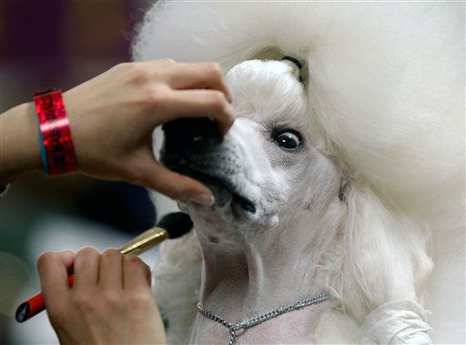 "<div class=""meta ""><span class=""caption-text "">Sophie, a Standard Poodle, is groomed before her showing at the 136th annual Westminster Kennel Club dog show, Monday, Feb. 13, 2012, in New York. (AP Photo/Craig Ruttle) (AP Photo/ Craig Ruttle)</span></div>"