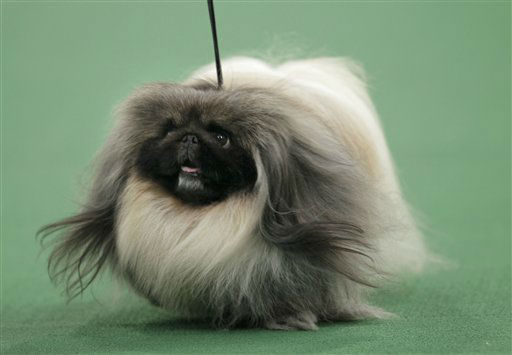 A Pekingese named Malachy walks across the floor during the judging of the toy group at the 136th annual Westminster Kennel Club dog show in New York, Monday, Feb. 13, 2012. Malachy went on to win the group. &#40;AP Photo&#47;Seth Wenig&#41; <span class=meta>(AP Photo&#47; Seth Wenig)</span>