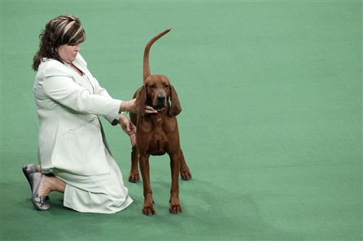 "<div class=""meta ""><span class=""caption-text "">A redbone coonhound is judged as part of the hound group at the 136th annual Westminster Kennel Club dog show in New York, Monday, Feb. 13, 2012. (AP Photo/Seth Wenig) (AP Photo/ Seth Wenig)</span></div>"