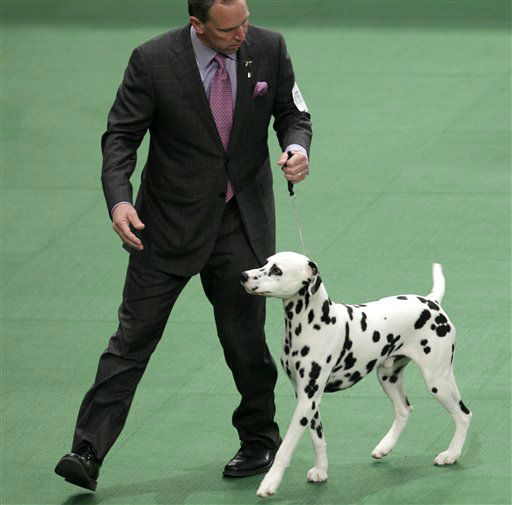 A Dalmatian named Ian, with his handler Michael Scott, competes in the non-sporting group, which he won, at the 136th annual Westminster Kennel Club dog show in New York, Monday, Feb. 13, 2012.  &#40;AP Photo&#47;Seth Wenig&#41; <span class=meta>(AP Photo&#47; Seth Wenig)</span>