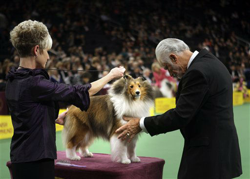 "<div class=""meta ""><span class=""caption-text "">A shetland sheepdog named Mystic Ava Gardner is examined during the judging of the herding group at the 136th annual Westminster Kennel Club dog show in New York, Monday, Feb. 13, 2012.  (AP Photo/Seth Wenig) (AP Photo/ Seth Wenig)</span></div>"