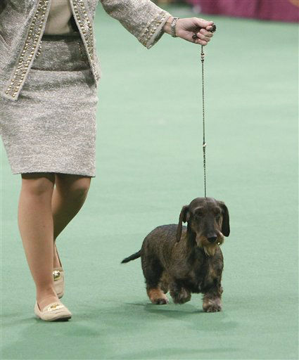 "<div class=""meta image-caption""><div class=""origin-logo origin-image ""><span></span></div><span class=""caption-text"">Cinders, a wirehaired dachshund, competes for best in show during the 136th annual Westminster Kennel Club dog show, Tuesday, Feb. 14, 2012, in New York. (AP Photo/Jason DeCrow) (AP Photo/ Jason DeCrow)</span></div>"