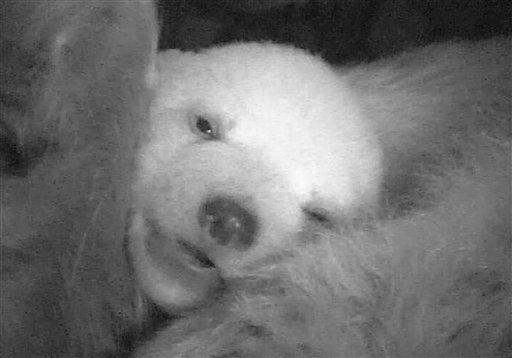 Das von einer Ueberwachungskamera in der vergangenen Woche aufgenommene Foto zeigt das fuenf Wochen alte Eisbaerbaby Anori mit geoeffneten Augen &#40;Foto undatiert&#41;. Das im Wuppertaler Zoo geborene Eisbaerjunge Anori hat die Augen geoeffnet. Das Jungtier entwickle sich praechtig und werde von seiner Mutter Vilma fuersorglich versorgt, teilte der Zoo am Dienstag &#40;14.02.12&#41; mit. Auf einem Monitor in der Pinguinanlage koennen Besucher Bilder des kleinen Eisbaeren und seiner Mutter aus der Wurfhoehle anschauen. Anori hat einen beruehmten Stiefbruder - ihr Vater Lars ist auch der Erzeuger von Eisbaer Knut, der sich in Berlin zum Publikumsliebling wurde. &#40;zu dapd-Text&#41; Foto: Zoo Wuppertal&#47;dapd <span class=meta>(Photo&#47;Zoo Wuppertal)</span>