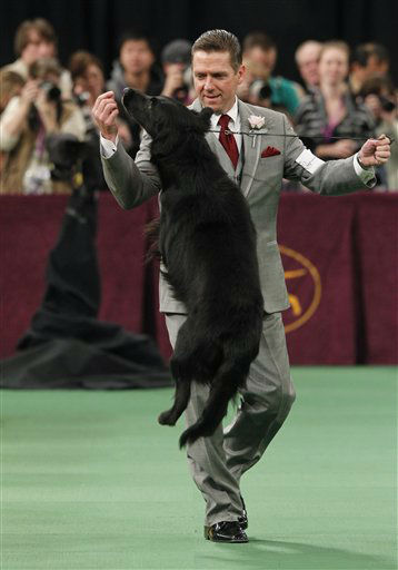 Blacklace Magic Mocha Sapphire, a flat-coated retriever, competes in the sporting group during the 136th annual Westminster Kennel Club dog show, Tuesday, Feb. 14, 2012, in New York. &#40;AP Photo&#47;Jason DeCrow&#41; <span class=meta>(AP Photo&#47; Jason DeCrow)</span>