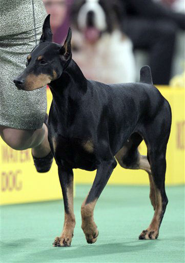 Protocol&#39;s Veni Vidi Vici, a Doberman pinscher, who won its group, runs during the judging of the Working Group at the 136th annual Westminster Kennel Club dog show in New York, Tuesday, Feb. 14, 2012. &#40;AP Photo&#47;Seth Wenig&#41; <span class=meta>(AP Photo&#47; Seth Wenig)</span>