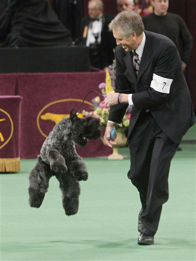 Chelsey, a Kerry blue terrier, jkumps after being named winner the terrier group during the 136th annual Westminster Kennel Club dog show, Tuesday, Feb. 14, 2012, in New York. &#40;AP Photo&#47;Jason DeCrow&#41; <span class=meta>(AP Photo&#47; Jason DeCrow)</span>