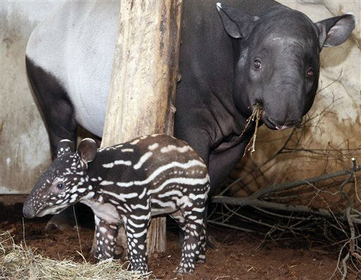 Female Malayan tapir cub Pinola stands next to its mother Indah in their compound at the zoo of Nuremberg, Germany, Thursday, Feb. 16, 2012. Pinola was born on Jan. 28, 2012. &#40;AP Photo&#47;dapd, Timm Schamberger&#41; <span class=meta>(AP Photo&#47; Timm Schamberger)</span>