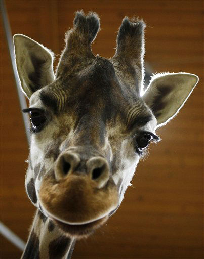 Nora, a Rothschild giraffe, stares at the camera at Prague Zoo in Prague, Czech Republic, Friday, Feb. 17, 2012. &#40;AP Photo&#47;Petr David Josek&#41; <span class=meta>(AP Photo&#47; Petr David Josek)</span>
