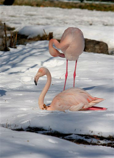 A flamingo sits on snow as another one stands behind at a zoo in Ankara, Turkey, Sunday, Feb. 19, 2012. Turkey has been hit by a cold snap that has blanketed much of the country in snow. &#40;AP Photo &#47; Selcan Hacaoglu&#41; <span class=meta>(AP Photo&#47; Selcan Hacaoglu)</span>