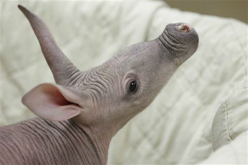 A five-week-old aardvark inspects his surroundings after a routine examination at the Chicago Zoological Society&#39;s Brookfield Zoo in Brookfield, Ill. on Wednesday, Feb. 22, 2012. To ensure its best chance for survival, Animal Programs staff decided to assist the calf?s 7-year-old mother, Jessi, in rearing the infant born on Jan. 12, 2011. Since its birth, the unsexed calf has received around-the-clock care that has included a neonatal examination and extra hydration and supplemental feeding when needed to make certain it is healthy and gaining the proper amount of weight. The supplemental aardvark formula the calf receives replicates the fat, carbohydrates, and other nutrients of a mother aardvark?s milk composition. &#40;AP Photo&#47;M. Spencer Green&#41; <span class=meta>(AP Photo&#47; M. Spencer Green)</span>