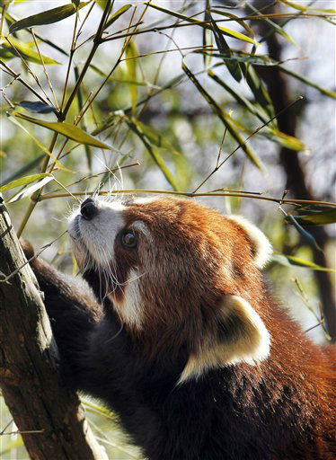 A Red Panda munches on bamboo in the spring-like weather at the Philadelphia Zoo Thursday, Feb. 23, 2012 in Philadelphia. The Philadelphia Zoo is one of America&#39;s oldest, opening to the public in 1874. &#40;AP Photo&#47;Alex Brandon&#41; <span class=meta>(AP Photo&#47; Alex Brandon)</span>