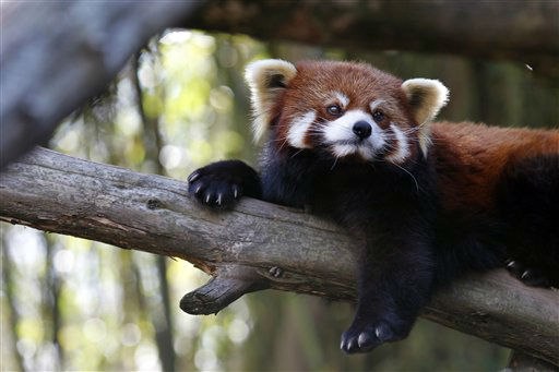 A Red Panda rests in the spring-like weather at the Philadelphia Zoo Thursday, Feb. 23, 2012 in Philadelphia. The Philadelphia Zoo is one of America&#39;s oldest, opening to the public in 1874. &#40;AP Photo&#47;Alex Brandon&#41; <span class=meta>(AP Photo&#47; Alex Brandon)</span>