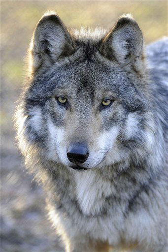 "<div class=""meta image-caption""><div class=""origin-logo origin-image ""><span></span></div><span class=""caption-text"">In this photo taken April 18, 2012, provided April 19 by the Chicago Zoological Society, a Mexican gray wolf is seen at Brookfield Zoo?s Great Bear Wilderness exhibit in Brookfield, Ill. Through a study of Mexican gray wolves, researchers hope to aid in conservation efforts of the endangered species, and determine whether a type of nasal tumor is more prevalent in wolves or domestic dogs. The Chicago Zoological Society, which manages Brookfield Zoo, is embarking on a study to determine the occurrence of nasal carcinoma in Mexican gray wolves using CT (CAT) scans. (AP Photo/Chicago Zoological Society, Jim Schulz) (AP Photo/ Jim Schulz)</span></div>"