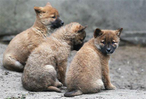 "<div class=""meta image-caption""><div class=""origin-logo origin-image ""><span></span></div><span class=""caption-text"">Knapp zwei Monate alte Dingo-Welpen (Canis lupus dingo) sitzen am Dienstag (28.02.12) im Tierpark in Berlin in ihrem Gehege. Huendin Francis hatte am 03. Januar 2012 vier Welpen geworfen. Foto: Adam Berry/dapd</span></div>"