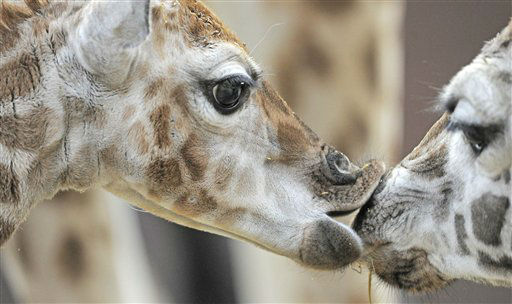 The giraffe baby, left, kisses a sibling giraffe during the first contact with the herd of Rothschild giraffes in the Leipzig zoo, central Germany, Monday, March 5, 2012. The giraffe baby was born in Leipzig, Feb. 22, 2012. &#40;AP Photo&#47;Jens Meyer&#41; <span class=meta>(AP Photo&#47; Jens Meyer)</span>