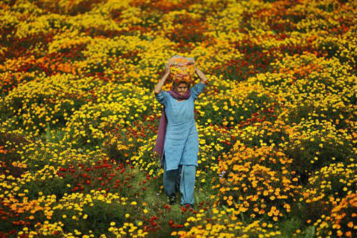 An Indian woman carries marigold flowers on her head on the outskirts of Jammu, India, Monday, March 5, 2012. Marigolds are widely used as strings of garland and for Hindu religious rituals. &#40;AP Photo&#47;Channi Anand&#41; <span class=meta>(AP Photo&#47; Channi Anand)</span>