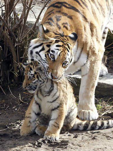 """<div class=""""meta """"><span class=""""caption-text """">Amur-Tiger (Panthera tigris altaica) Hanya packt am Donnerstag (08.03.12) in Koeln im Zoo eines ihrer drei kleinen Tigerbabys am Nacken. Die drei kleinen Tiger halten Mutter Hanya und Vater Altai schwer auf Trab. Am Donnerstag war die Tigerfamilie das erste Mal  gemeinsam im Gehege. Foto: Roberto Pfeil/dapd (Photo/Roberto Pfeil)</span></div>"""