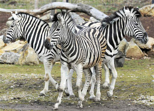 "<div class=""meta image-caption""><div class=""origin-logo origin-image ""><span></span></div><span class=""caption-text"">Zebras goe different ways in the Erfurt zoo, central Germany, Thursday, March 8, 2012. (AP Photo/Jens Meyer) (AP Photo/ Jens Meyer)</span></div>"