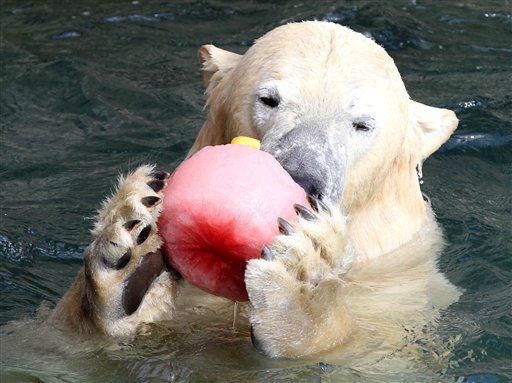 """Der Eisbaer Nanuq haelt am Freitag (09.03.12) im Zoo in Hannover bei seinem ersten Bad nach Tagen im Wasserbecken seines Geheges in der Kanadalandschaft """"Yukon Bay"""" eine Torte aus Eis und Fruechten in den Pranken. Die Rostschaeden in der neuen Kanadalandschaft """"Yukon Bay"""" im Zoo Hannover sind mit geringem Aufwand durch Strom zu beheben. Fuer rund 200.000 Euro seien das Seeloewen- sowie das Eisbaerenbecken sanierbar, sagte der Leiter des Zoos am Freitag. Eine Sprecherin bezeichnete die kuerzlich bei routinemaessigen Reinigungsarbeiten entdeckten Rostschaeden in der 2010 eroeffneten und 36 Millionen teuren """"Yukon Bay"""" als """"Kinderkrankheiten"""". Eine Untersuchung der Bundesanstalt fuer Materialpruefung habe ergeben, dass das weitere """"Abrosten"""" der Beckenwaende durch das Anlegen von schwachem Strom verhindert werden koenne. Die Spannung sei so gering, dass sie den Tieren nicht schade. Die drei Eisbaeren kehrten bereits am Freitag in ihr Becken zurueck, die Seeloewen und Robben sollen bis zum Saisonstart am 24. Maerz folgen. (zu dapd-Text) Foto: Focke Strangmann/dapd"""
