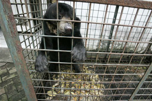 TO GO WITH INDONESIA ZOOLOGICO - In this Saturday, March 10, 2012 photo, a moon bear which suffers from a skin tumor sits inside a cage at the quarantine section of Surabaya Zoo in Surabaya, East Java, Indonesia. Indonesia&#39;s biggest zoo, once boasting one of the most impressive and well cared for collections of animals in Southeast Asia, is struggling for its existence following reports of suspicious animal deaths and disappearances of endangered species. &#40;AP Photo&#47;Trisnadi&#41; <span class=meta>(AP Photo&#47; Trisnadi)</span>