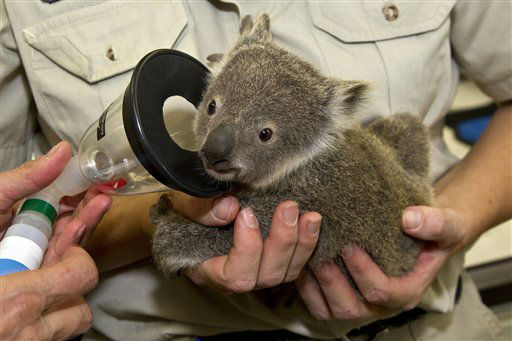 "<div class=""meta image-caption""><div class=""origin-logo origin-image ""><span></span></div><span class=""caption-text"">This image provided by the San Diego Zoo shows a koala joey named Milo experiencing his first full veterinary exam at the San Diego Zoo's veterinary hospital Wednesday March 14, 2012 in San Diego. The youngster, who is only just recently out of his mother's pouch, was anesthetized so doctors could X-ray and examine him thoroughly.  Once the short exam was over, the joey was returned, fully awake, to his mother. The San Diego Zoo's koala colony is the largest group of this species outside of Australia. (AP Photo/San Diego Zoo, Ken Bohn) (AP Photo/ Ken Bohn)</span></div>"