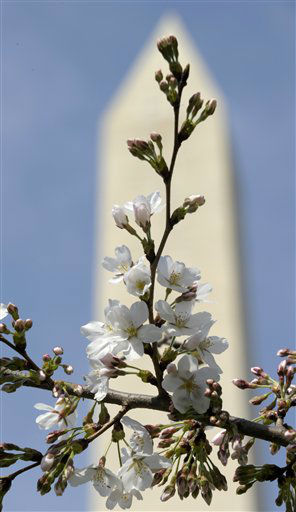 With the Washington Monument in the background, cherry blossoms bloom near the Tidal Basin in Washington, Thursday, March 15, 2012.  &#40;AP Photo&#47;Susan Walsh&#41; <span class=meta>(AP Photo&#47; Susan Walsh)</span>