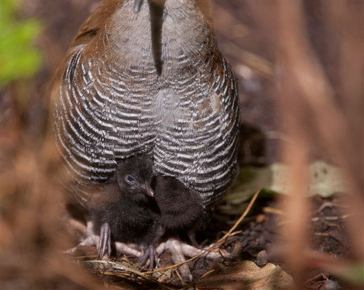 "<div class=""meta ""><span class=""caption-text "">In this photo provided by Smithsonian?s National Zoo shows a rare Guam rail chick that hatched at the National Zoo in Washington.  National Zoo officials say two rare Guam rail chicks have hatched there.  The small, flightless birds hatched March 3 and 4. The total population of the birds is now 162. In several weeks, zookeepers will perform routine medical exams and take feather samples to determine the birds' sexes. (AP Photo/Smithsonian?s National Zoo) (AP Photo/ Anonymous)</span></div>"