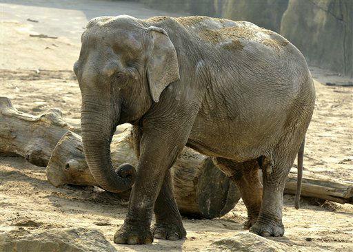 Technischer Hinweis: Bildwiederholung mit besserer Bildqualitaet &#43;&#43;&#43; Das vom Zoo Koeln veroeffentlichte undatierte Handout zeigt die Elefantenkuh Chumpol in einem Gehege im Zoo in Koeln. Herz-Kreislauf-Versagen ist einem Bericht zufolge die Todesursache bei der am Mittwoch &#40;02.05.12&#41; im Koelner Zoo verendeten Elefantenkuh Chumpol. Wie der &#34;Koelner Stadt-Anzeiger&#34; in seiner Online-Ausgabe berichtete, starb das Tier an einem posttraumatischen Schock mit extremer Adrenalinausschuettung und Blutungen, was zu einem Herz-Kreislauf-Versagen fuehrte. &#40;zu dapd-Text&#41; Foto: Zoo Koeln&#47;dapd <span class=meta>(Photo&#47;Zoo Koeln)</span>