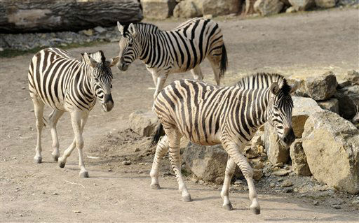 Damara-Zebras &#40;Equus quagga antiquorum&#41; gehen am Donnerstag &#40;22.03.12&#41; durch die Afrika-Savanne im Thueringer Zoopark in Erfurt. Nach zwei Jahren Bauzeit ist im Erfurter Zoo am Donnerstag eine neue Afrika-Savanne eingeweiht worden. In dem neuen Gemeinschaftsgehege finden nach Zoopark-Angaben insgesamt drei Rappen-Antilopen, fuenf Zebras, vier Impala-Antilopen und zwei Strausse ausreichend Platz. Auch ein grosses Wasserloch gehoert zu dem rund 5.000 Quadratmeter grossen Areal. Die Tierhaltung mit  Grasflaechen und Felslandschaft soll so dem Leben in freier Wildbahn nahe kommen. Die Baukosten fuer das Gelaende betrugen nach Zooangaben rund 800.000 Euro. Foto: Jens-Ulrich Koch&#47;dapd <span class=meta>(Photo&#47;Jens-Ulrich Koch)</span>