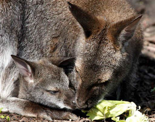 Ein erst wenige Monate altes Bennett-Kaenguru (Macropus rufogriseus) teilt sich am Freitag (23.03.12) im Zoo Hannover mit seiner Mutter ein Salatblatt. Sechs der aus Tasmanien stammenden Kaengurus haben Ende des vergangenen Jahres Nachwuchs bekommen und huepfen nun im Tierpark der Landeshauptstadt mit ihren Kindern durch das Gehege, um die Fruehlingsluft zu geniessen. Die meiste Zeit verbringen die Jungen noch im Beutel des Muttertiers, doch fuer einen kleinen Ausflug verlassen die zuerst geborenen bereits die schuetzende Tasche am Bauch der Mutter. Foto: Focke Strangmann/dapd
