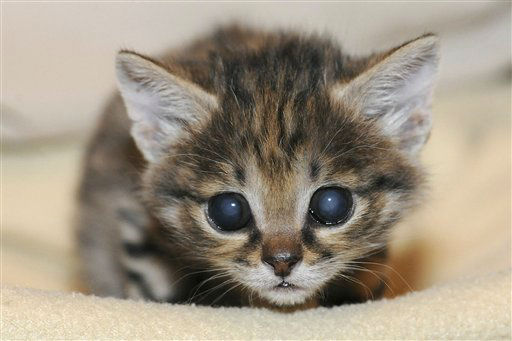 "<div class=""meta ""><span class=""caption-text "">This March 26, 2012, photo, provided by the Chicago Zoological Society, shows a male black-footed cat at the Animal Hospital at the Brookfield Zoo in Brookfield, Ill. The kitten, born Feb. 14, is being hand-reared at the zoo's hospital. (AP Photo/Chicago Zoological Society, Jim Schulz) (AP Photo/ Jim Schulz)</span></div>"
