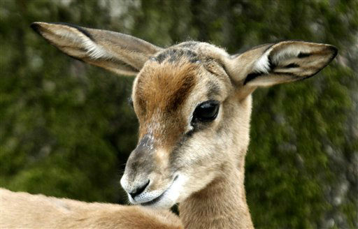 Franzi, a young Mhorr Gazelle &#40;Nanger dama mhorr&#41;  stands in its enclosure in the zoo of Frankfurt, central Germany, Thursday April 5, 2012.  Franzi was born on Feb 16, 2012.  &#40;AP Photo&#47;dapd Mario Vedder&#41; <span class=meta>(AP Photo&#47; Mario Vedder)</span>