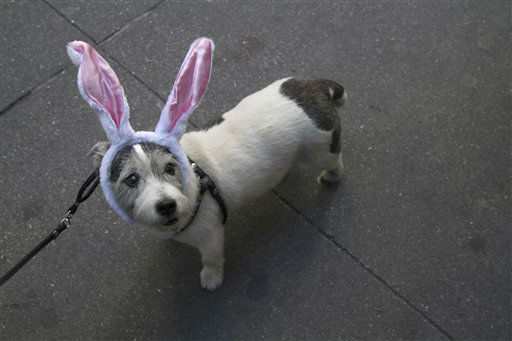 Gidget, a 12-year-old Jack Russell Terrier wears rabbit eats during the Easter Parade Fifth Ave.,  Sunday, April 8, 2012 in New York.  &#40;AP Photo&#47;Mary Altaffer&#41; <span class=meta>(AP Photo&#47; Mary Altaffer)</span>