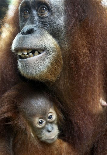 Ishta, right, one-year-old Sumatran Orang Utan, clings on to her aunt Chomel at the Singapore Zoo in Singapore Tuesday, April 10, 2012. The zoo is actively involved in educating the public about wildlife conservation and has also been successful in breeding endangered species within the zoo&#39;s premises. &#40;AP Photo&#47;Wong Maye-E&#41; <span class=meta>(AP Photo&#47; Wong Maye-E)</span>