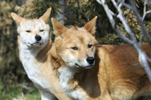 In this March 8, 2012 photo provided by the Wildlife Conservation Society a pair of dingoes walk through the trees at the Prospect Park Zoo?s &#34;Australian Walkabout on Discovery Trail,&#34; in Brooklyn, New York.  Native to the Australian Outback, the dingoes are a new addition to the zoo and according to the Wildlife Conservation Society, are the first dingoes in a New York City zoo in 40 years. &#40;AP Photo&#47;Wildlife Conservation Society, Julie Larsen Maher&#41; <span class=meta>(AP Photo&#47; Julie Larsen Maher)</span>