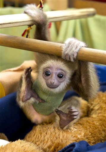 "A baby lar gibbon known as ""Knuppy"" is seen at a private Zoo in Bremen, northern Germany, Friday, April 13, 2012. The lar gibbon, which was rejected by its mother, is now in the care of zoo owner Renate Anders. (AP Photo/dapd /Joerg Sarbach)"