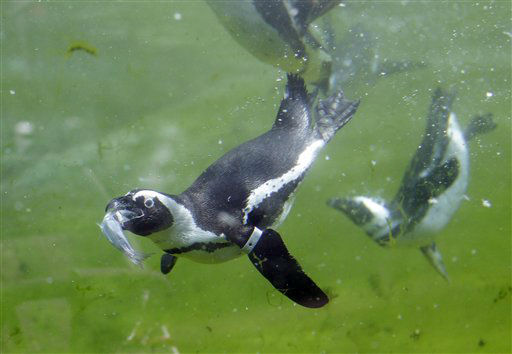 African Penguins fight for fish during feeding time in their enclosure at the zoo on Monday, April 23, 2012 in Wuppertal, Germany. &#40;AP Photo&#47;Frank Augstein&#41; <span class=meta>(AP Photo&#47; Frank Augstein)</span>