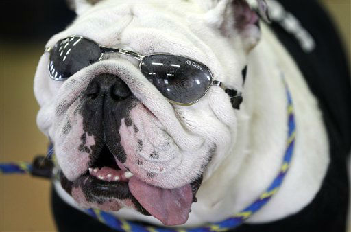 Charlie, owned by Scott and Susan Hanson, of Ankeny, Iowa, looks on during the 33rd annual Drake Relays Beautiful Bulldog Contest Monday, April 23, 2012, in Des Moines, Iowa. The pageant kicks off the Drake Relays festivities at Drake University where a bulldog is the mascot. &#40;AP Photo&#47;Charlie Neibergall&#41; <span class=meta>(AP Photo&#47; Charlie Neibergall)</span>