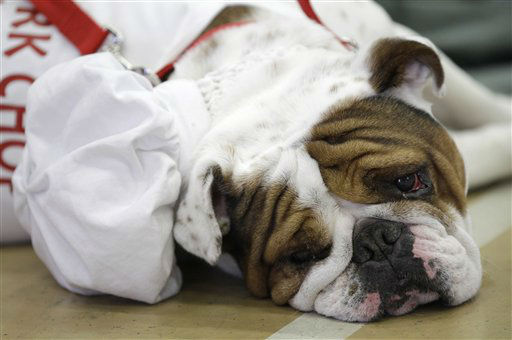Pork Chop, owned by Melissa Deneen, of Cambridge, Minn., looks on during the 33rd annual Drake Relays Beautiful Bulldog Contest Monday, April 23, 2012, in Des Moines, Iowa. The pageant kicks off the Drake Relays festivities at Drake University where a bulldog is the mascot. &#40;AP Photo&#47;Charlie Neibergall&#41; <span class=meta>(AP Photo&#47; Charlie Neibergall)</span>