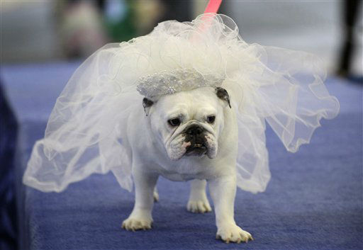 Maggie, owned by Bobby Jo Andreason, of Des Moines, Iowa, walks across the stage during the 33rd annual Drake Relays Beautiful Bulldog Contest Monday, April 23, 2012, in Des Moines, Iowa. The pageant kicks off the Drake Relays festivities at Drake University where a bulldog is the mascot. &#40;AP Photo&#47;Charlie Neibergall&#41; <span class=meta>(AP Photo&#47; Charlie Neibergall)</span>