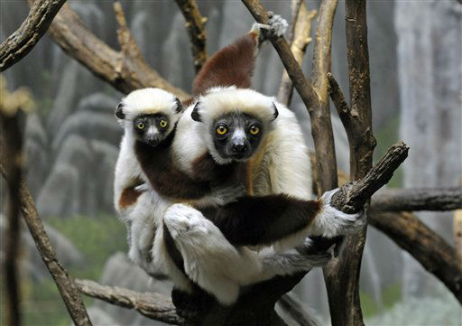 In this April 24, 2012 photo provided by the Wildlife Conservation Society, a juvenile Coquerel?s sifaka, left, holds on to its mother while clinging to a tree at the Bronx Zoo?s Madagascar! Exhibit. As with all lemurs, Coquerel?s sifaka?s sole native environment is living in the trees on the island of Madagascar. &#40;AP Photo&#47;WCS, Julie Larsen Maher&#41; <span class=meta>(AP Photo&#47; Julie Larsen Maher)</span>